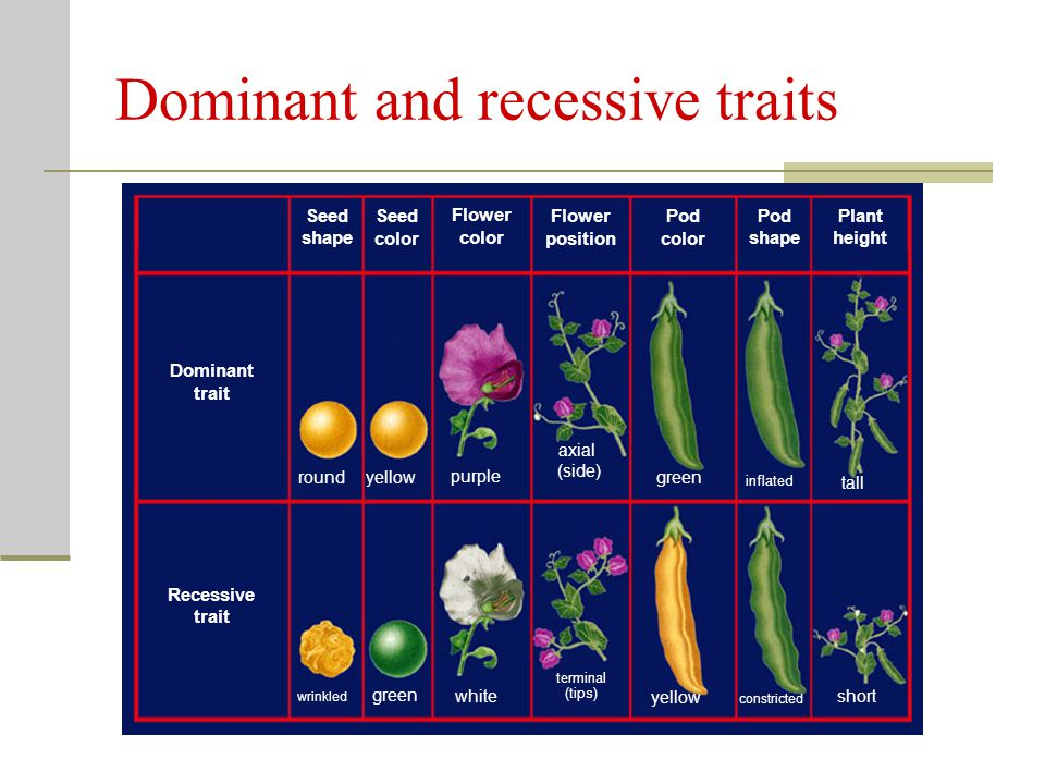 Dominant and recessive traits
