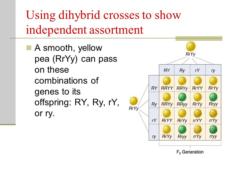 Using dihybrid crosses to show independent assortment
