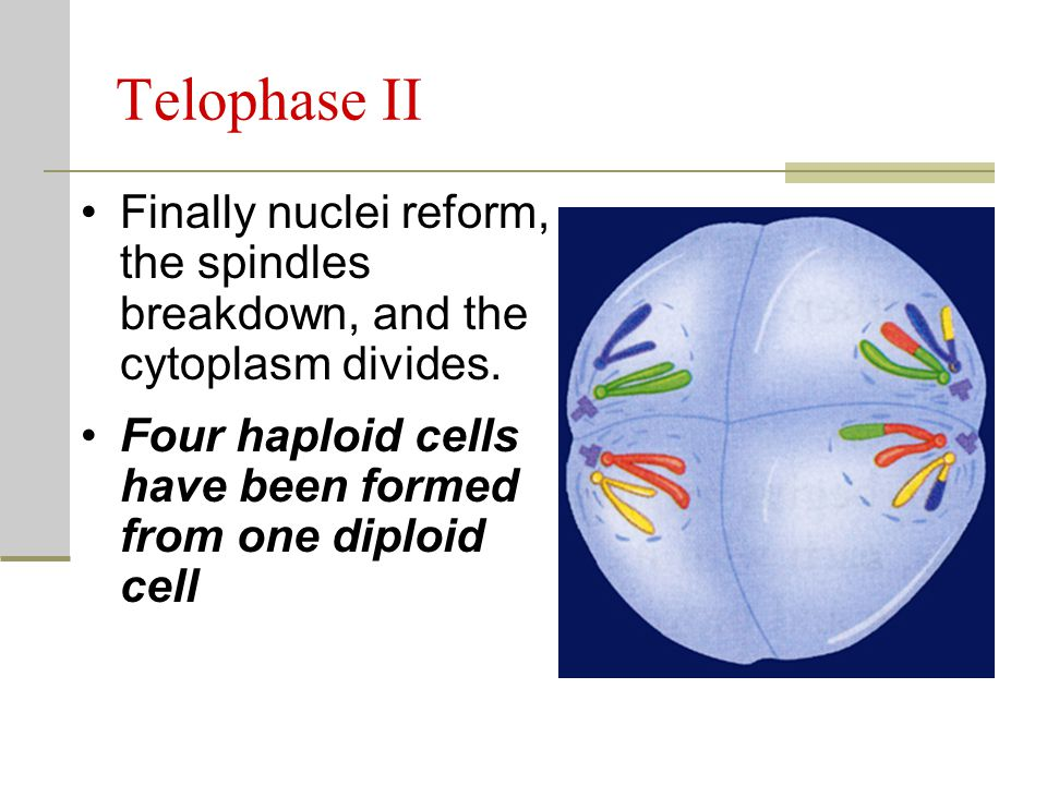 Telophase II Finally nuclei reform, the spindles breakdown, and the cytoplasm divides.