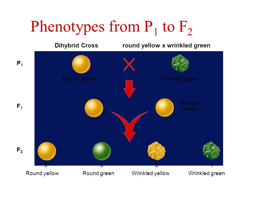Phenotypes from P1 to F2 Dihybrid Cross round yellow x wrinkled green