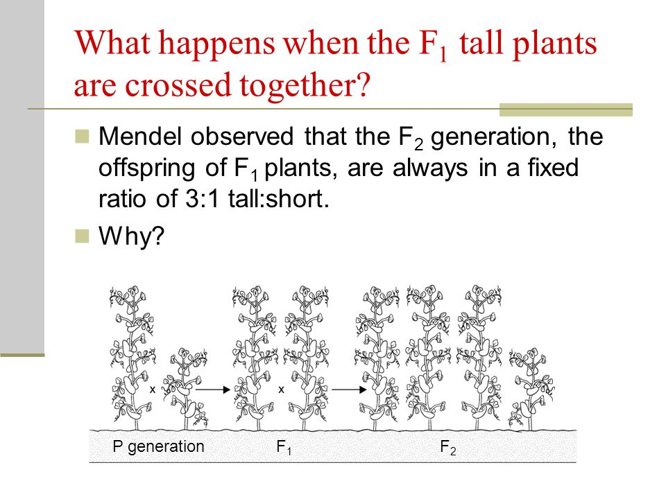 What happens when the F1 tall plants are crossed together