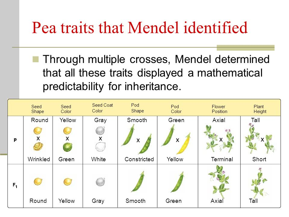 Pea traits that Mendel identified