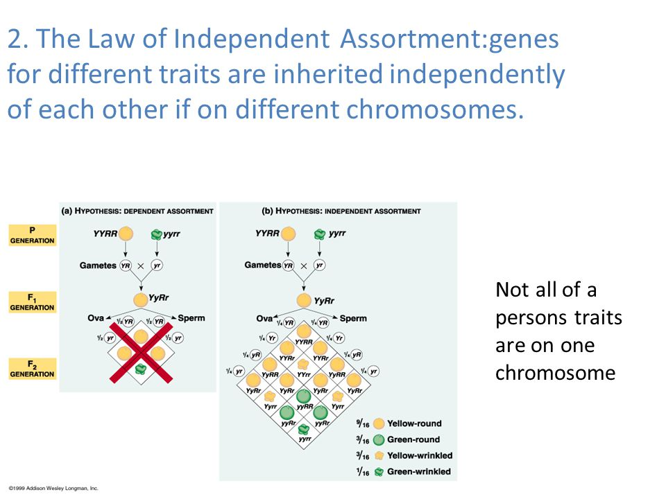2. The Law of Independent Assortment:genes for different traits are inherited independently of each other if on different chromosomes.