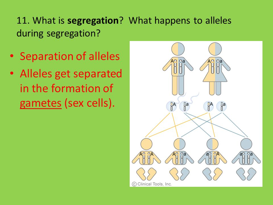 11. What is segregation What happens to alleles during segregation