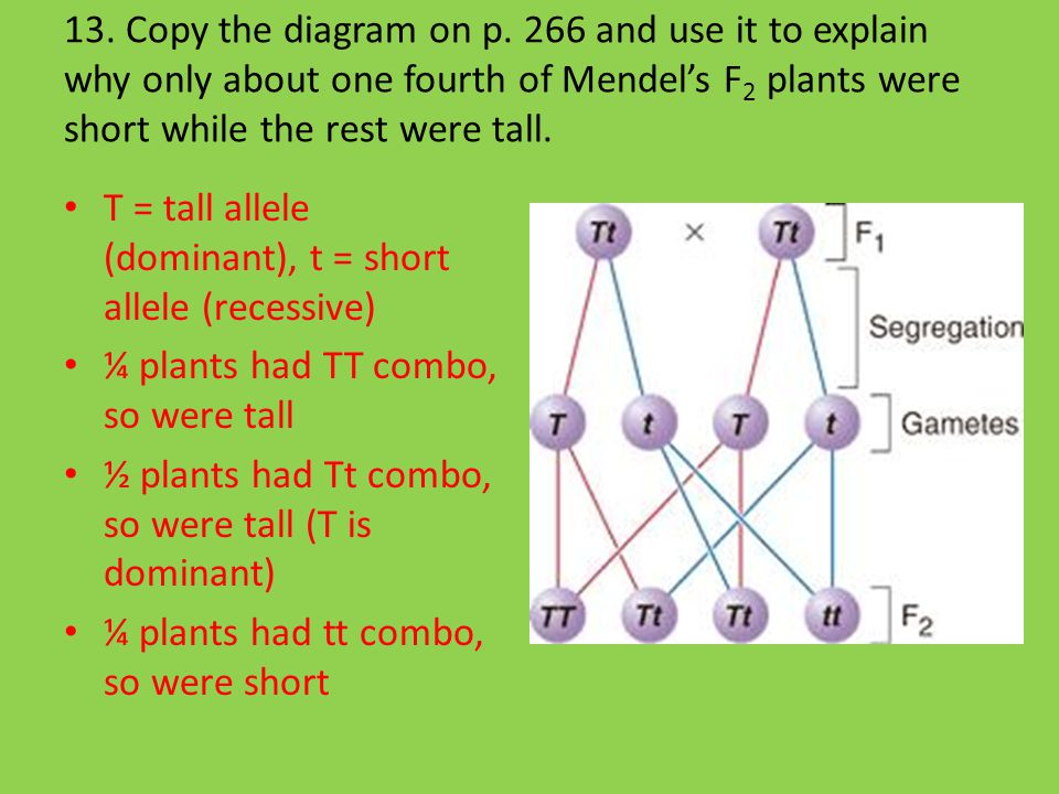 13. Copy the diagram on p. 266 and use it to explain why only about one fourth of Mendel's F2 plants were short while the rest were tall.