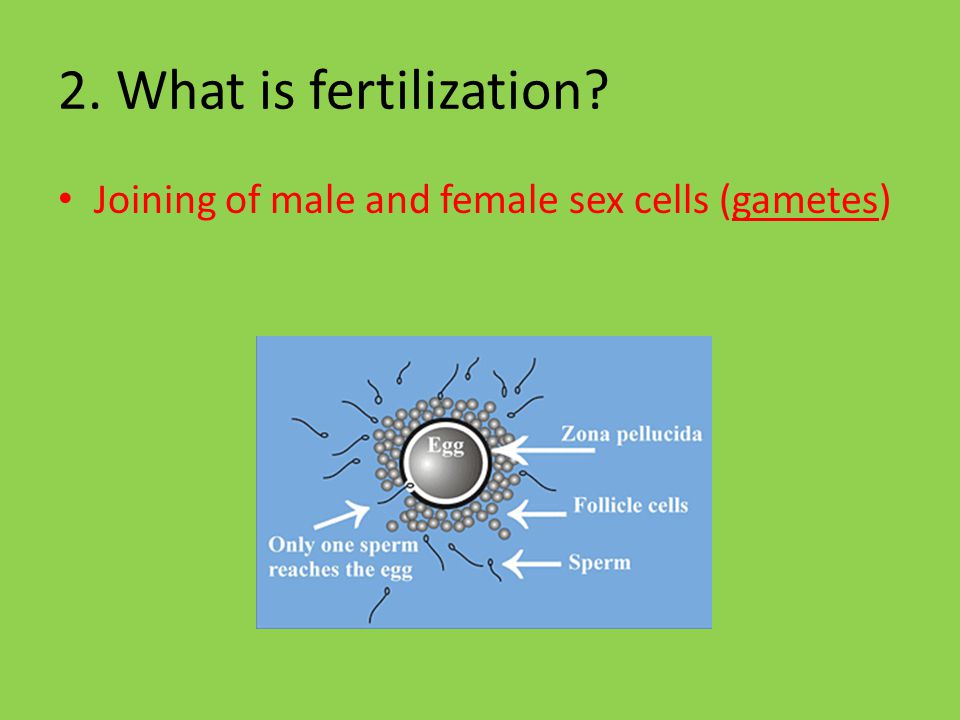 2. What is fertilization Joining of male and female sex cells (gametes)