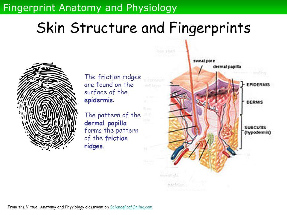 Atemberaubend Skin Physiology And Anatomy Zeitgenössisch ...