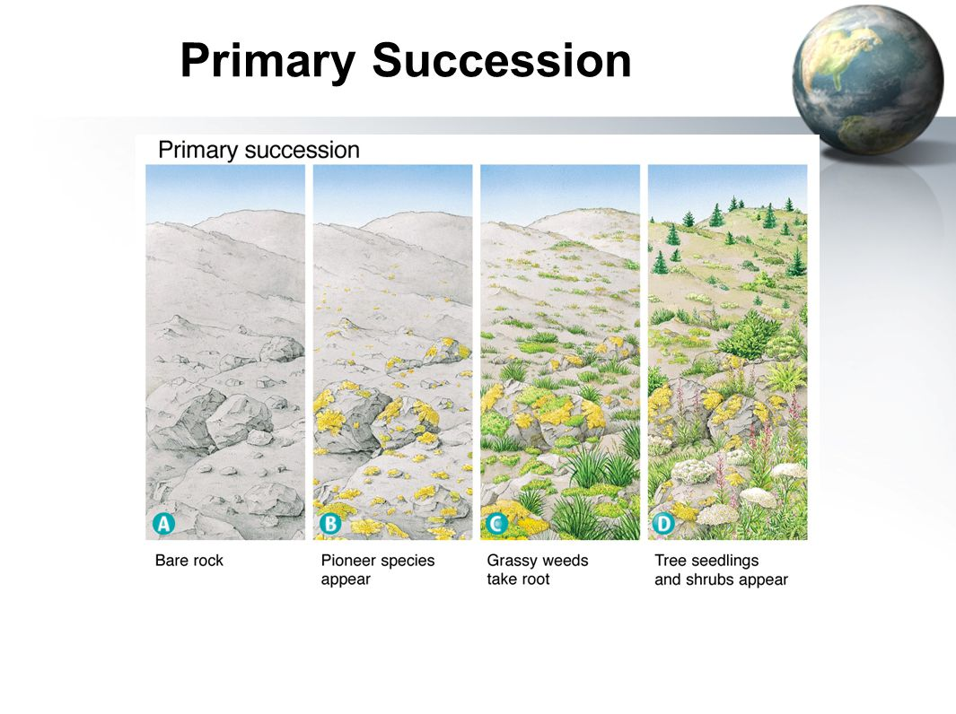 primary succession species diversity of Ecological succession: a driving force ecological succession (es) remains one  of the most significant determinants of earth's biotic life and diversity defined as  the process of change in the species structure of an ecological.