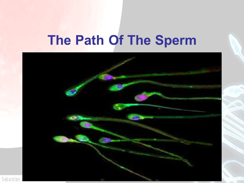 The Path Of The Sperm