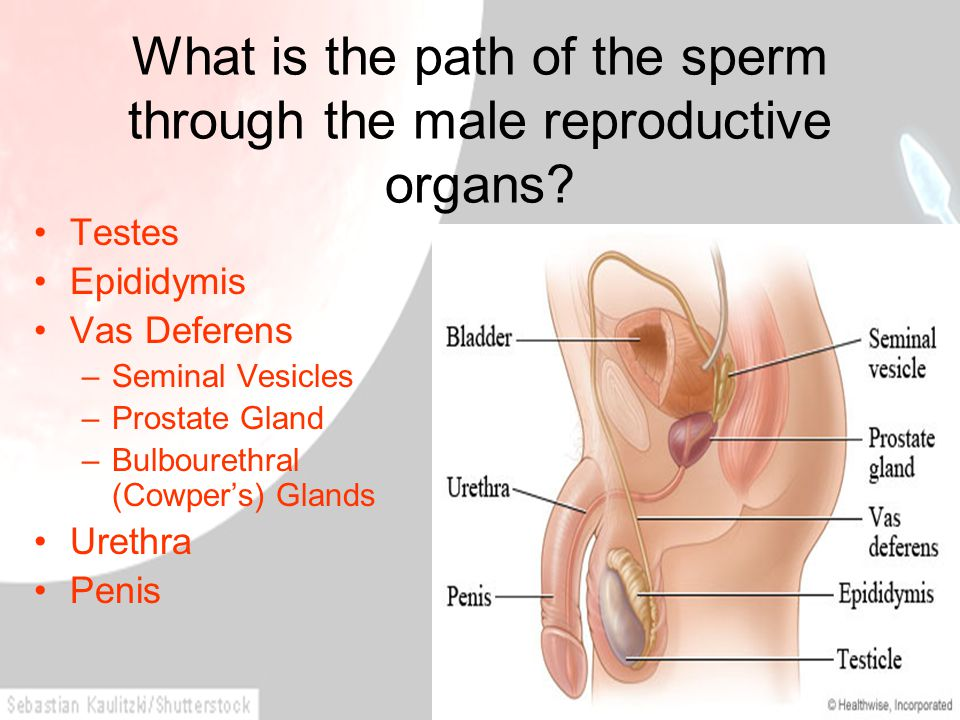 What is the path of the sperm through the male reproductive organs