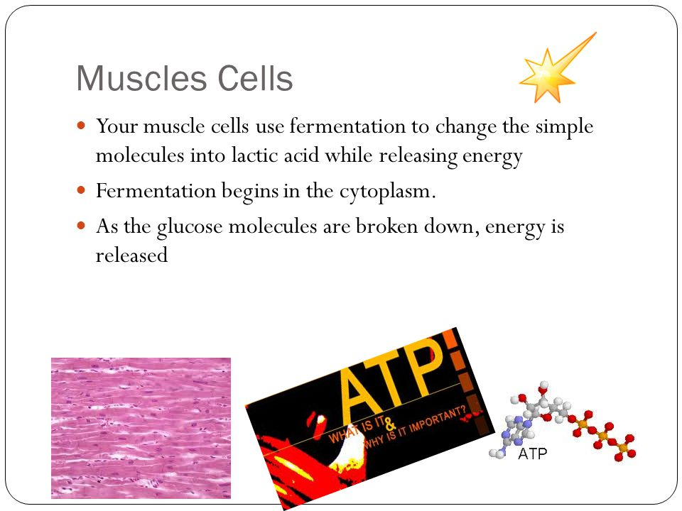 Muscles Cells Your muscle cells use fermentation to change the simple molecules into lactic acid while releasing energy.