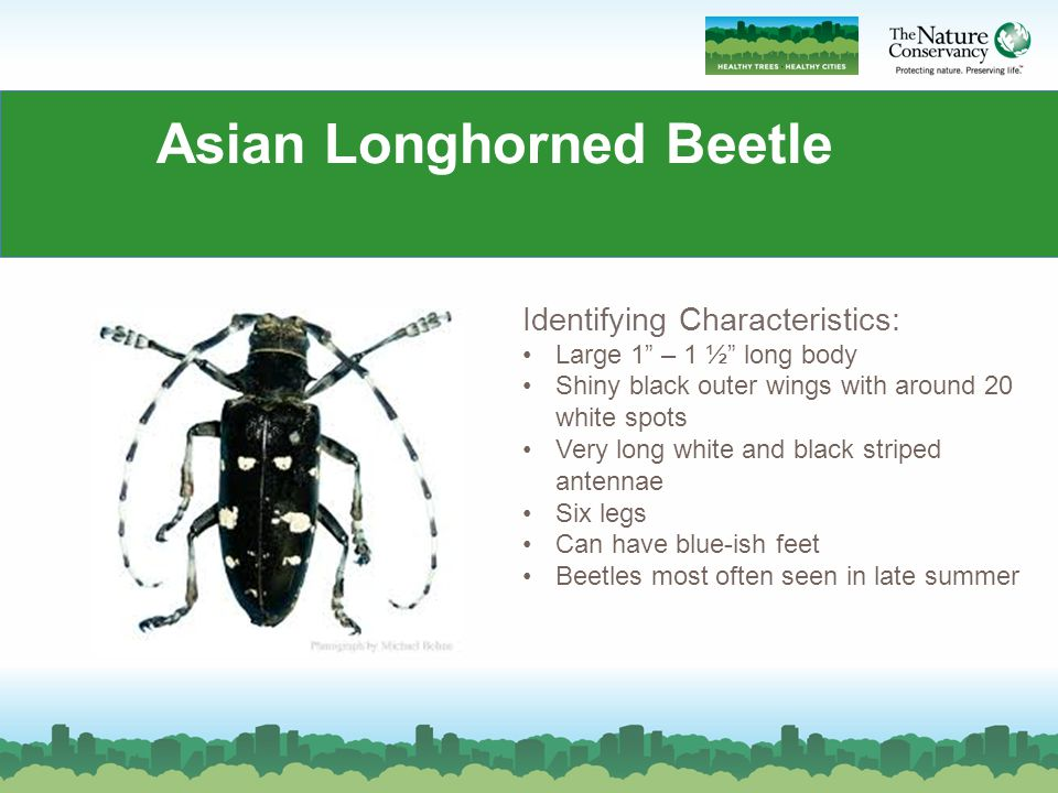 Asian longhorned beetle life