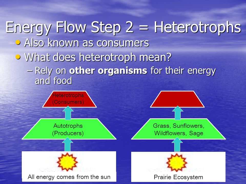 Energy Flow Step 2 = Heterotrophs
