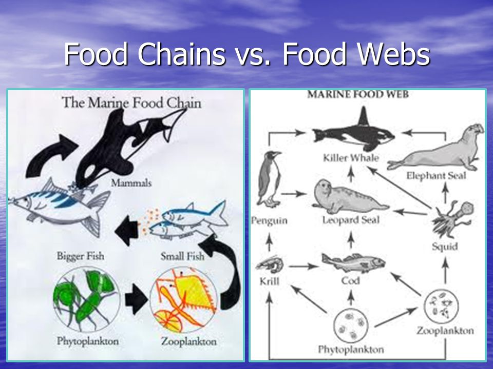 Food Chains vs. Food Webs