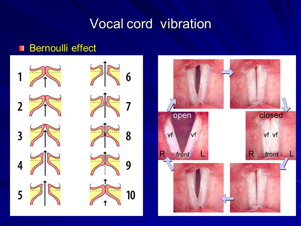 Vocal cord vibration Bernoulli effect