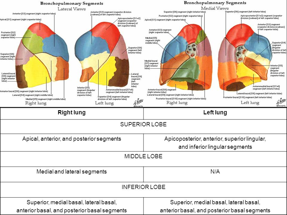 Lung segments anatomy 7159334 - follow4more.info