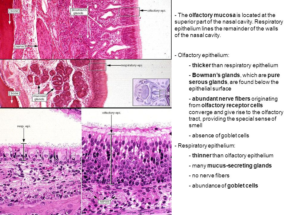 respiratory anatomyhistology correlate ppt video online