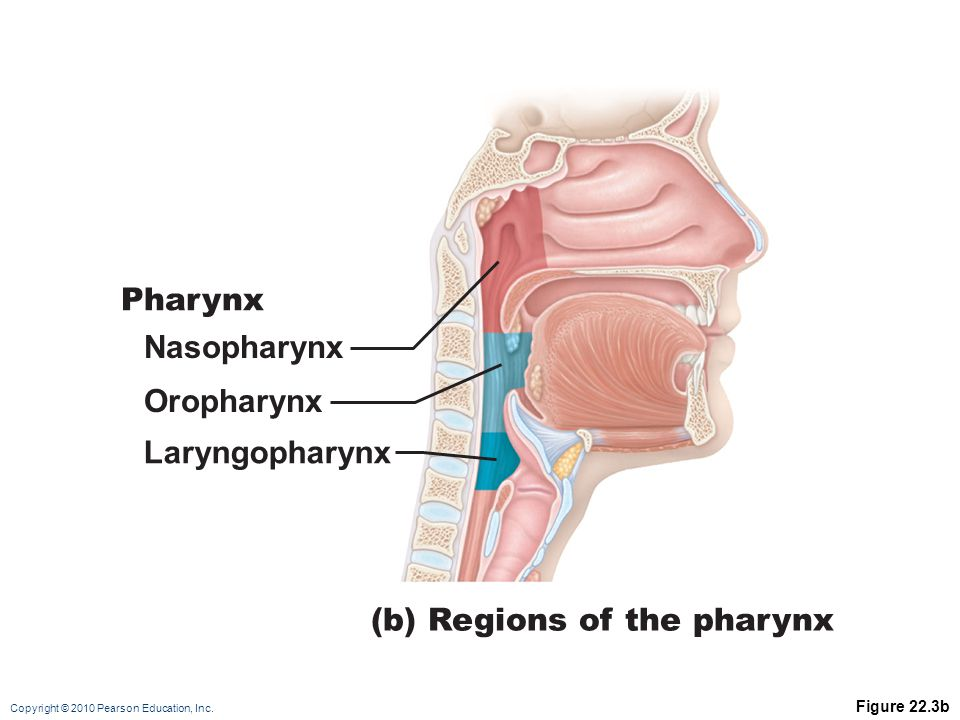 (b) Regions of the pharynx
