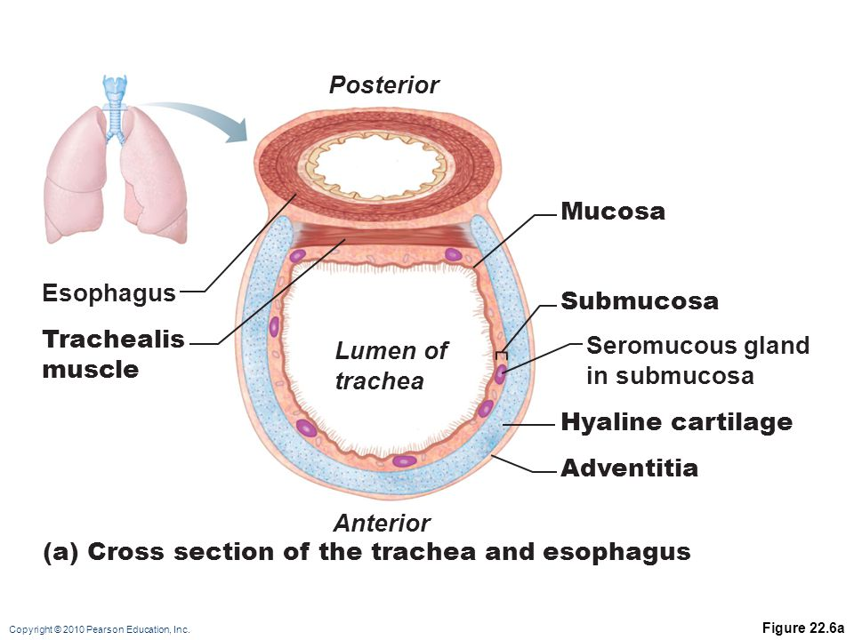 (a) Cross section of the trachea and esophagus