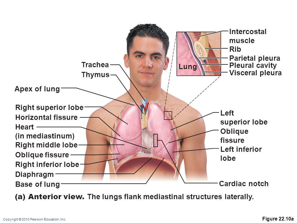 (a) Anterior view. The lungs flank mediastinal structures laterally.