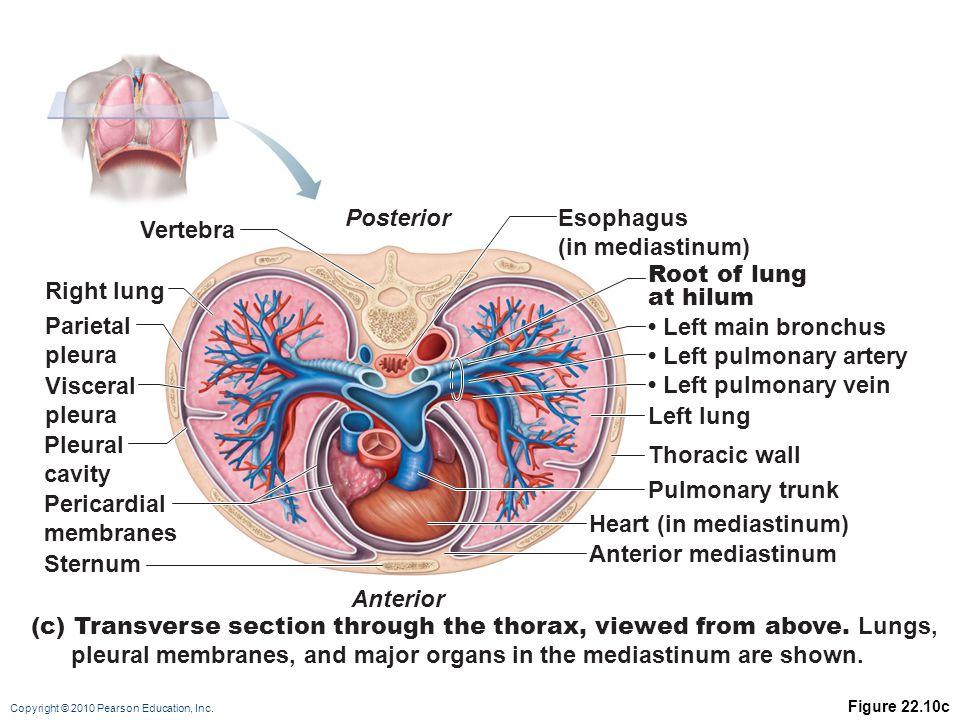 Unique Lung Anatomy Hilum Component - Anatomy Ideas - yunoki.info