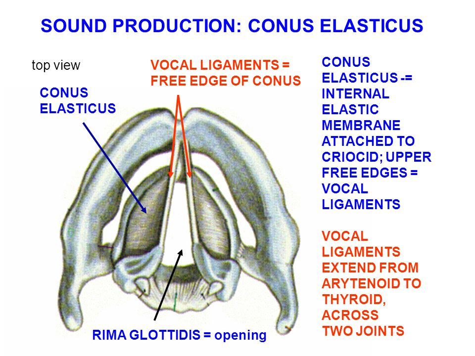http://slideplayer.com/4544785/15/images/5/SOUND%20PRODUCTION:%20CONUS%20ELASTICUS.jpg Arytenoid