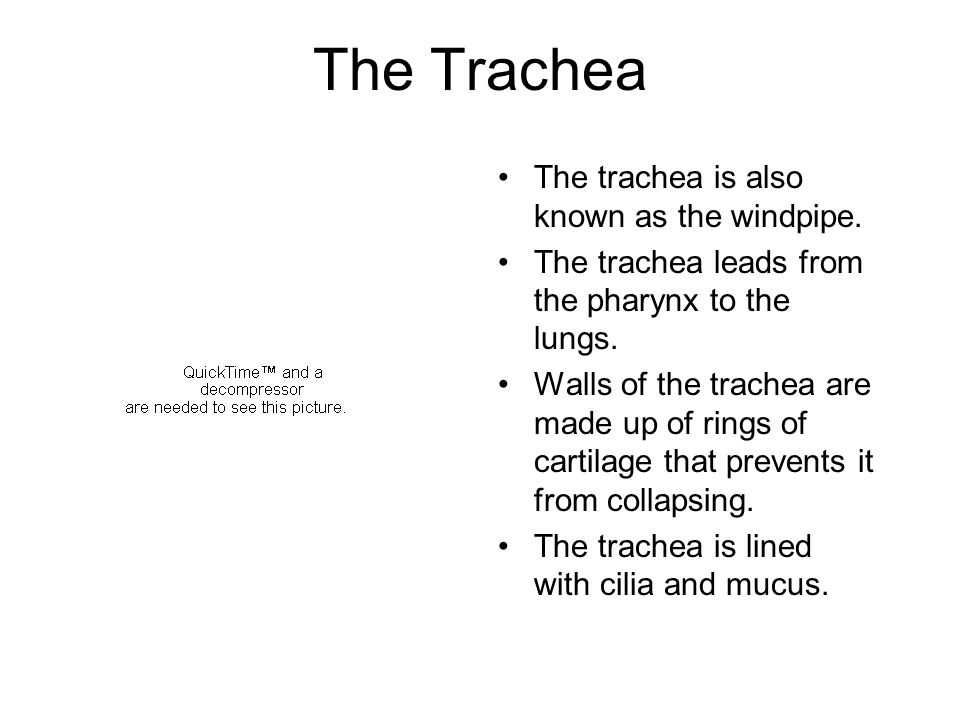 The Trachea The trachea is also known as the windpipe.