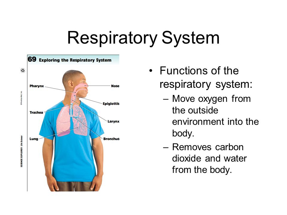 Respiratory System Functions of the respiratory system: