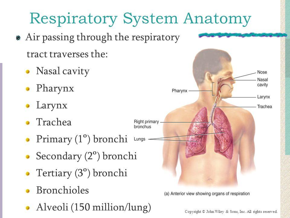 Anatomy respiratory system essay Custom paper Service