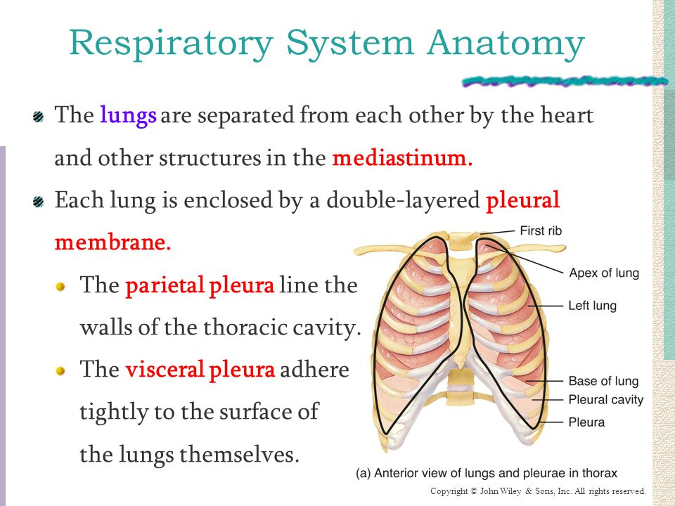 Luxury Lung Fissure Surface Anatomy Festooning - Human Anatomy ...