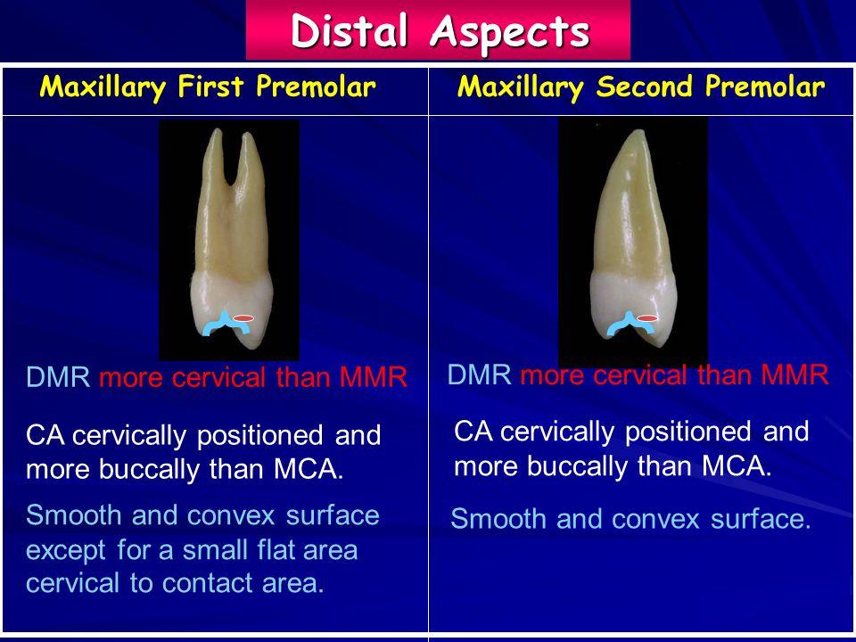maxillary first premolar - Yelom.myphonecompany.co