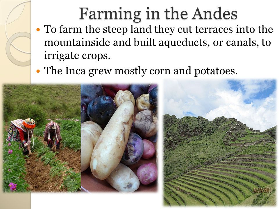 Farming in the Andes To farm the steep land they cut terraces into the mountainside and built aqueducts, or canals, to irrigate crops.