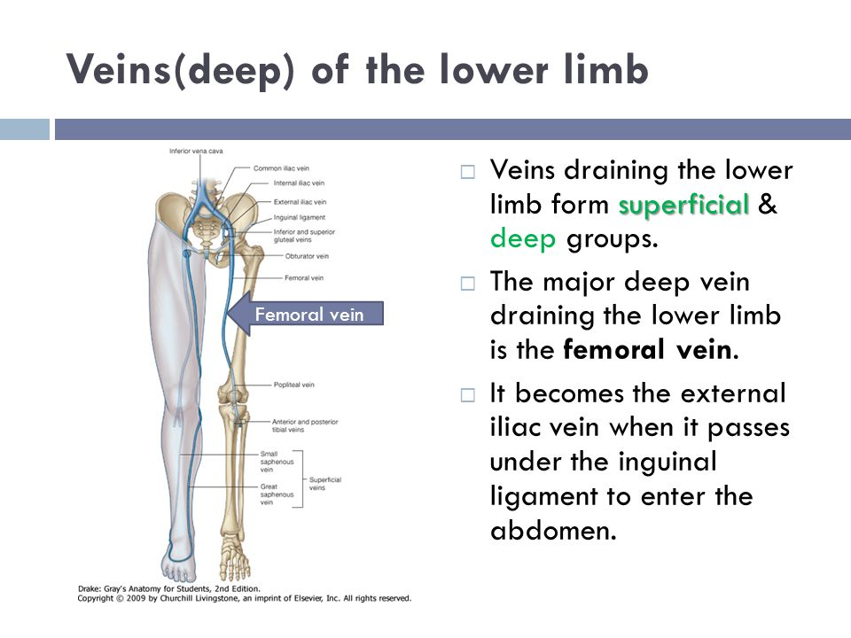 Veins(deep) of the lower limb