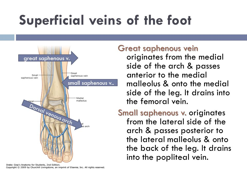 Superficial veins of the foot