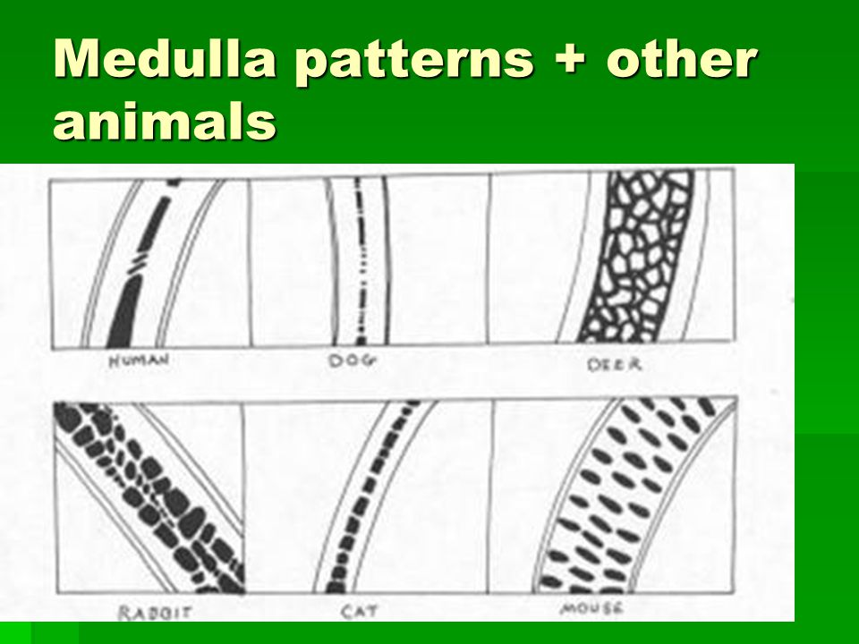 Scale Pattern Of Cat Hair