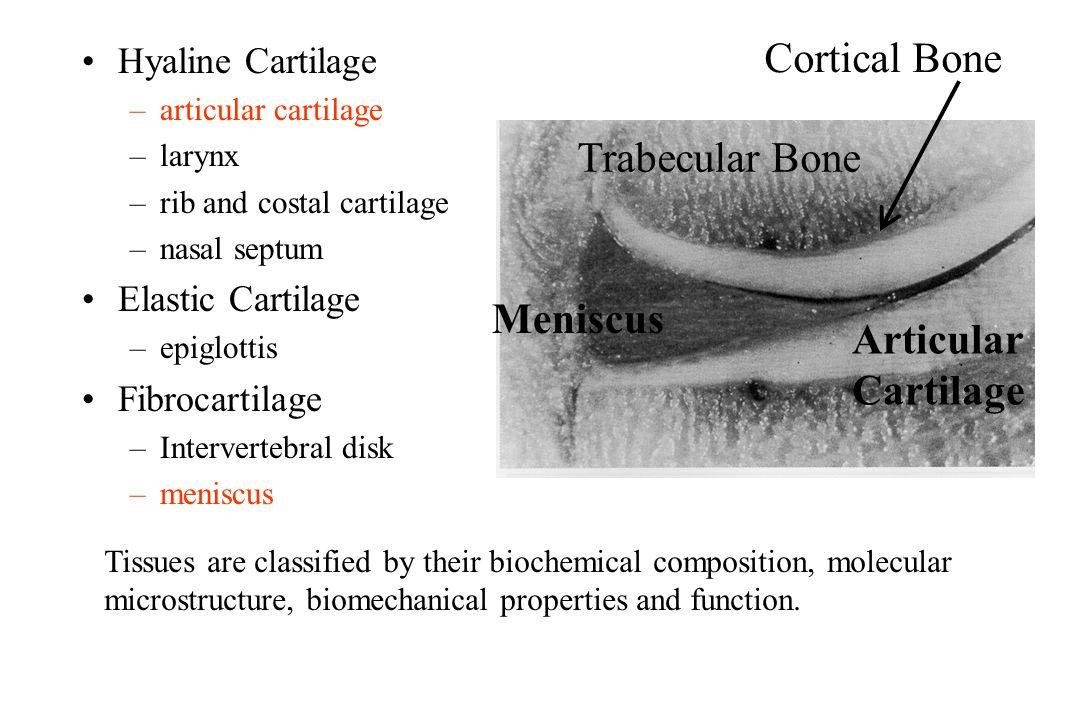 Cortical Bone Trabecular Bone Meniscus Articular Cartilage Ppt