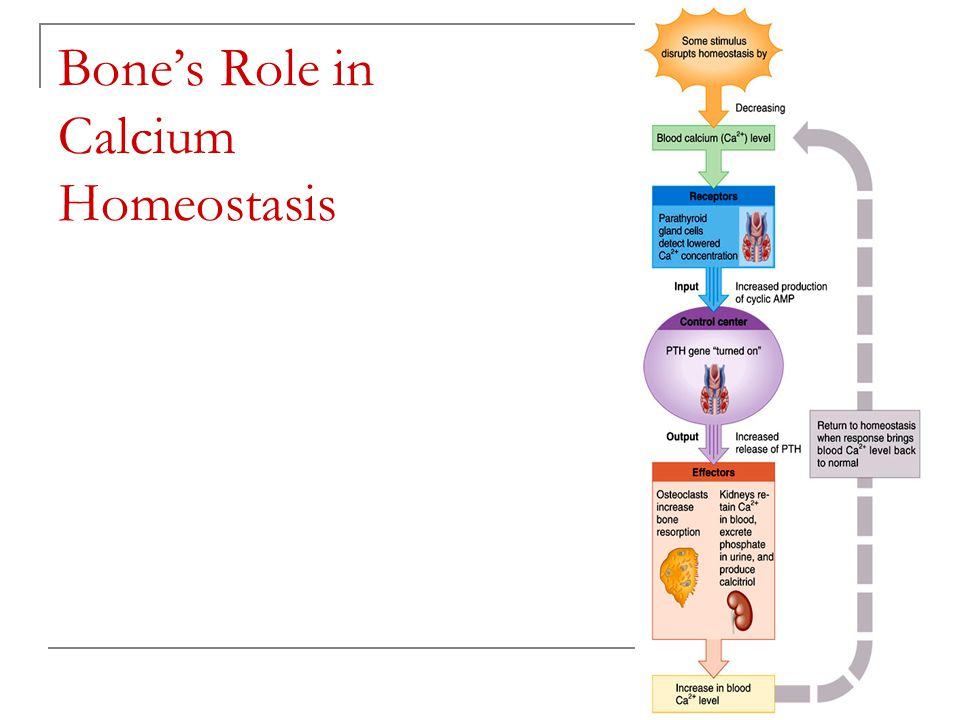 calcium homeostasis Calcium plays an important role in many physiologic pathways that include muscle contraction, the secretion of neurotransmitters and hormones, and the coagulation pathways, and it is an important component of the skeleton.