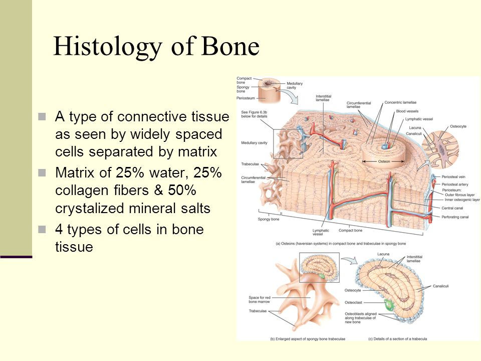The Skeletal System: Bone Tissue Lecture Outline - ppt video online ...