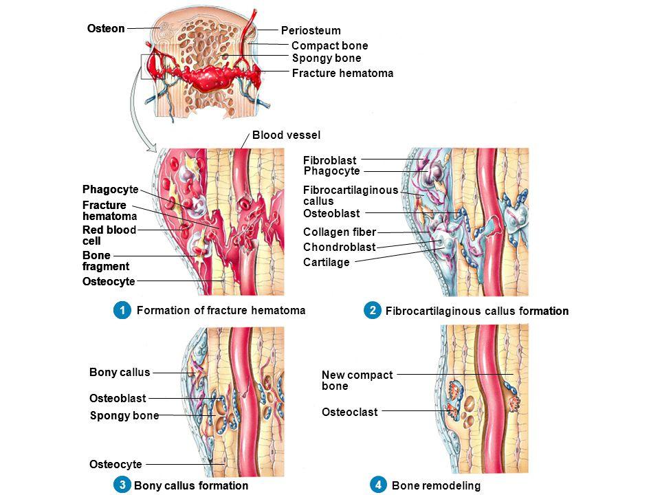 Atemberaubend Pearson Anatomie Und Physiologie Färbung Arbeitsmappe ...