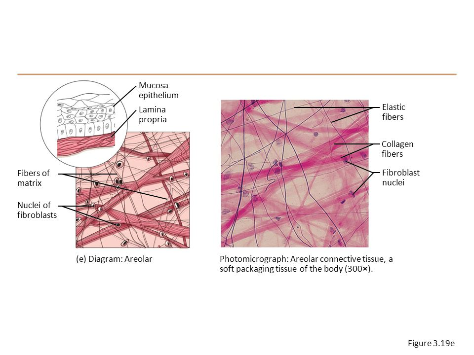 elastic tissue diagram liver tissue diagram #15
