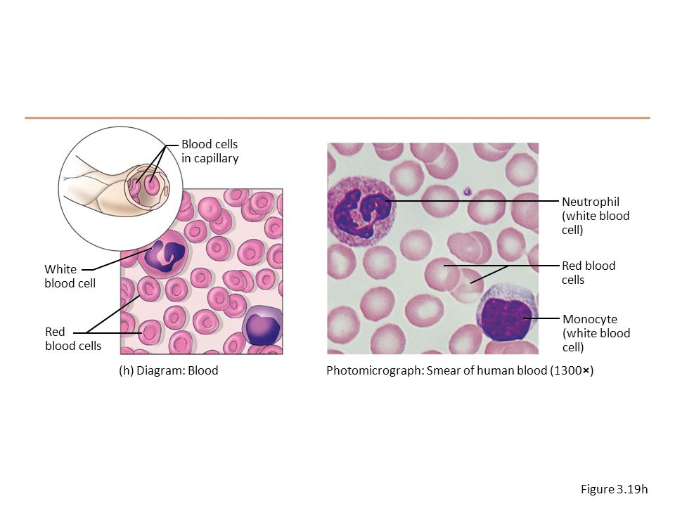 Blood cells in capillary. Neutrophil. (white blood. cell) White. blood cell. Red blood. cells.