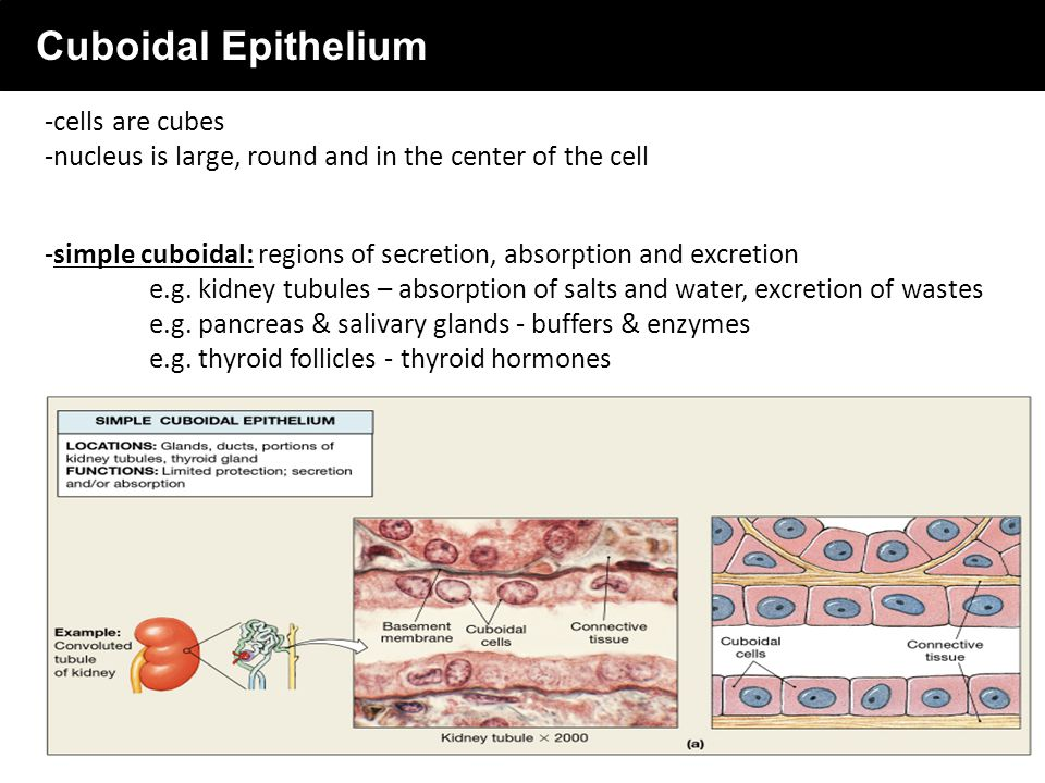 what is the importance of epithelial tissue Epithelial tissue forms a barrier between the body and the external environment and plays important roles in protection type of epithelium.