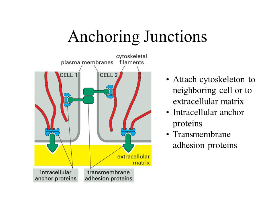 Anchoring Junctions Attach cytoskeleton to neighboring cell or to extracellular matrix. Intracellular anchor proteins.