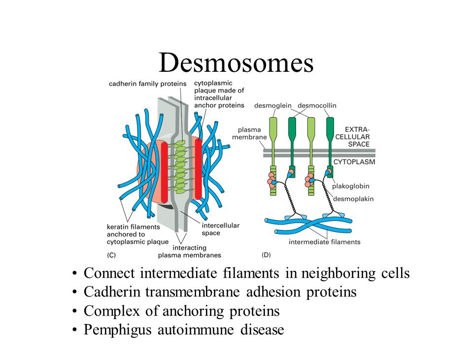 Desmosomes Connect intermediate filaments in neighboring cells