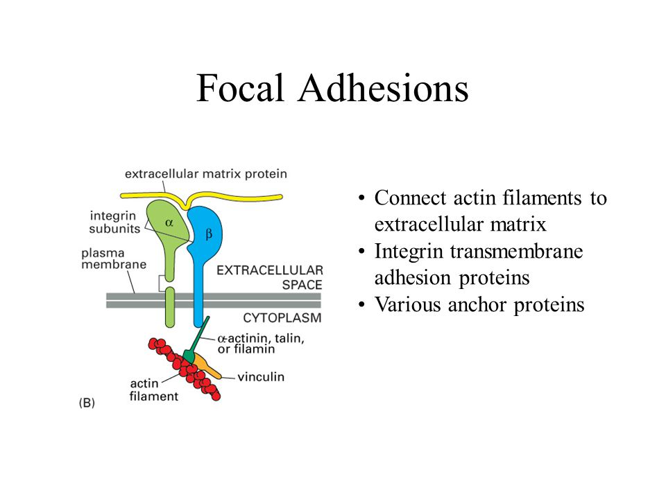 Focal Adhesions Connect actin filaments to extracellular matrix