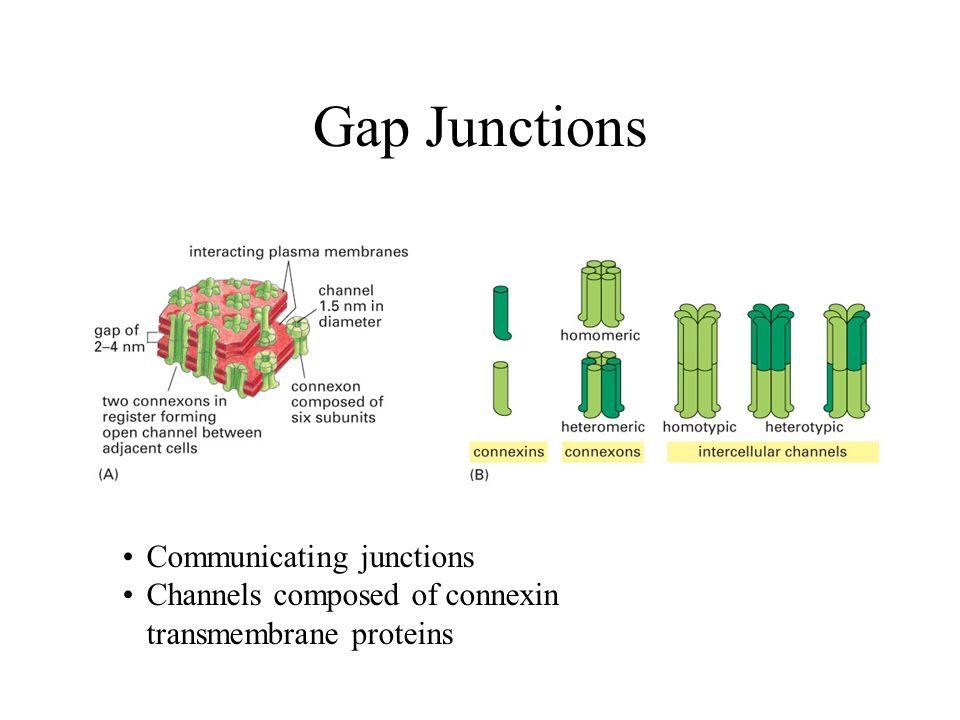 Gap Junctions Communicating junctions