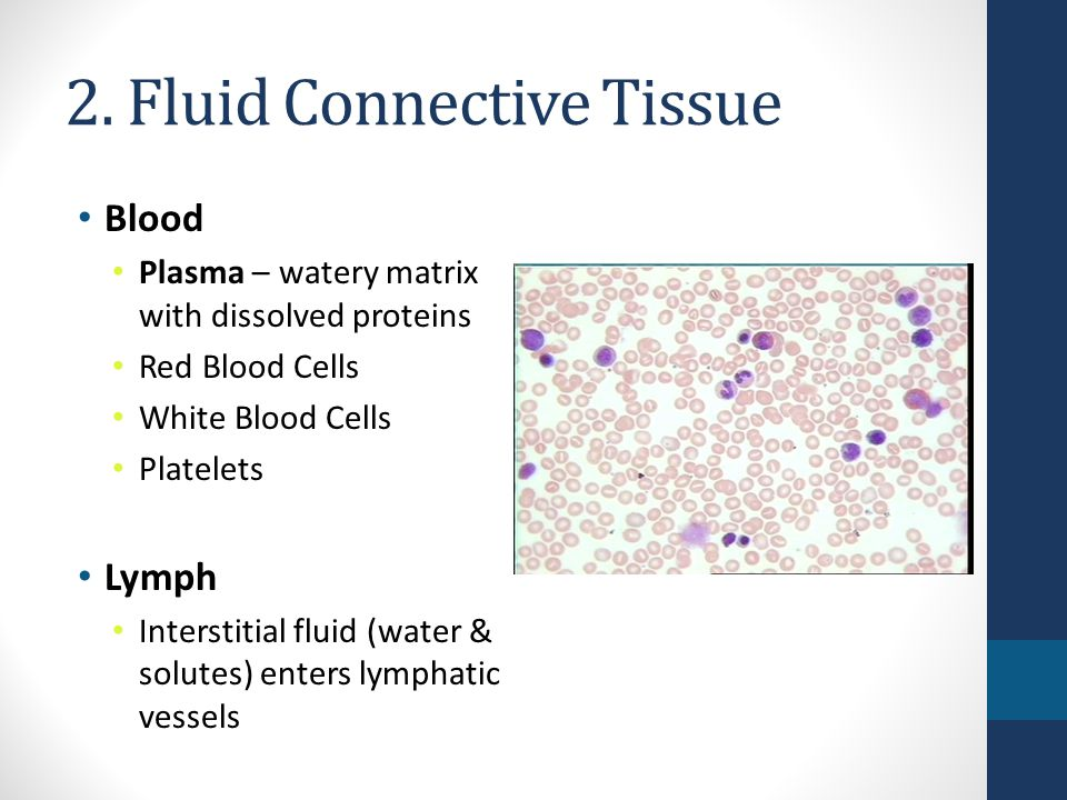 is blood a connective tissue Overview of autoimmune disorders of connective tissue - learn about the causes, symptoms ligaments, and blood vessels in autoimmune disorders.