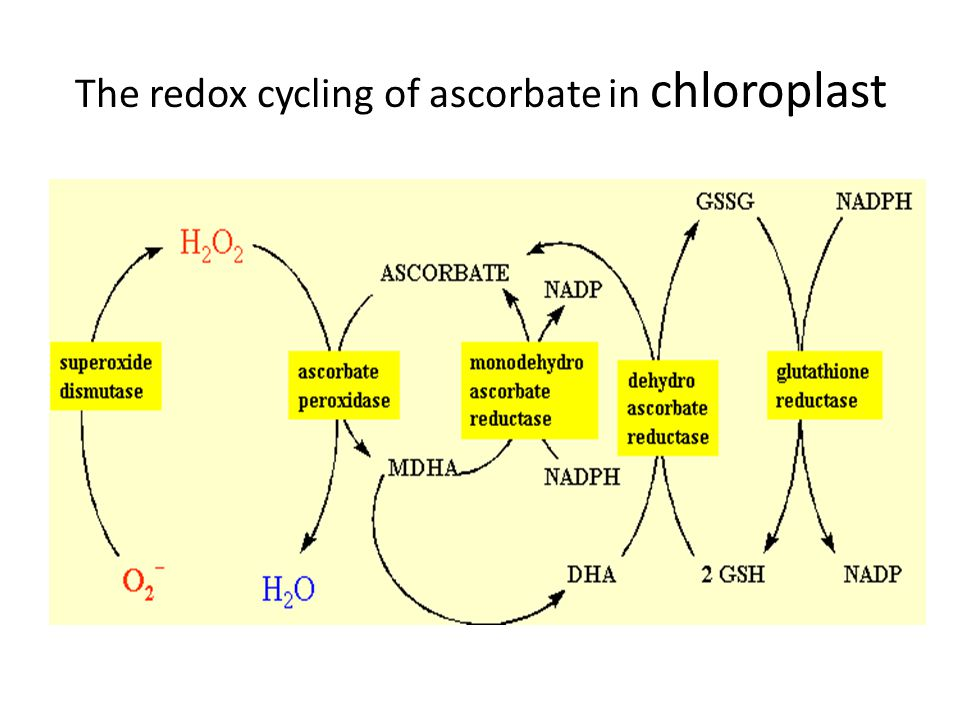 The redox cycling of ascorbate in chloroplast