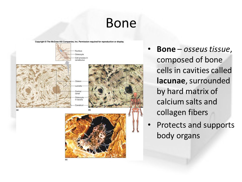 Bone Bone – osseus tissue, composed of bone cells in cavities called lacunae, surrounded by hard matrix of calcium salts and collagen fibers.