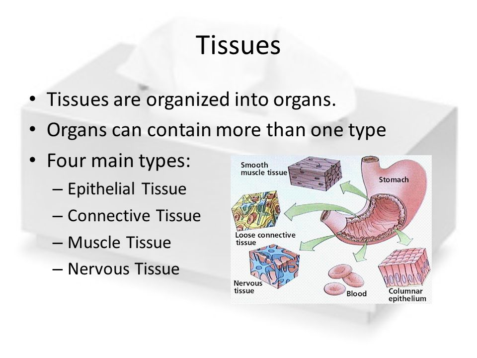 Tissues Tissues are organized into organs.